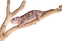 Panther chameleon. Close up of a panther chameleon against white background Royalty Free Stock Photo