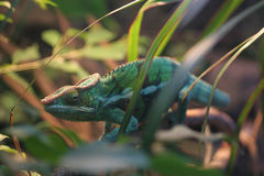 Panther chameleon. In foliage royalty free stock photos