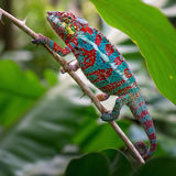 Panther Chameleon. With beautifull colours on the branch Royalty Free Stock Photography