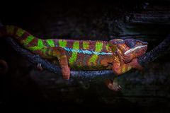 Panther Chameleon on a branch Royalty Free Stock Photos