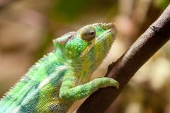 Panther chameleon climbs on a tree. A panther chameleon climbs on a tree Stock Photo