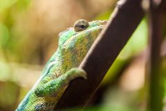 Panther chameleon climbs on a tree. A panther chameleon climbs on a tree Stock Photos