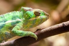 Panther chameleon climbs on a tree. A panther chameleon climbs on a tree Royalty Free Stock Image