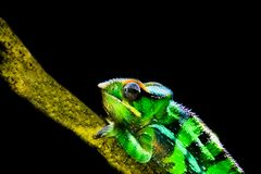 Panther chameleon in closeup and isolated on a black background, tropical iguana from madagascar, popular vivarium pet stock photography