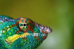 Panther chameleon eyeball. Ing camera against blurred green background Stock Image