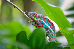 Panther Chameleon. Full of colours Royalty Free Stock Image