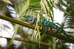 Panther Chameleon. Full of colours climbing on the branch Royalty Free Stock Photo
