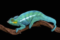 Panther chameleon (Furcifer paradise). The Panther chameleon (Furcifer paradise) is one of the most colorful lizard species in the world Stock Photo