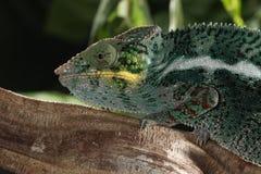 . Panther Chameleon - Furcifer pardalis. Panther Chameleon - Furcifer pardalis Native to Eastern and Northern Madagascar Habitat: Exclusively Tropical Rainforest Stock Images