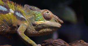 Panther chameleon, furcifer pardalis, adult standing on branch, Madagascar, Slow motion. 4K stock footage
