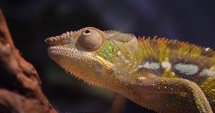 Panther chameleon, furcifer pardalis, adult standing on branch, Madagascar, Slow motion. 4K stock video