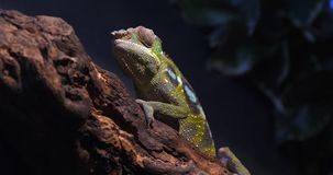 Panther Chameleon, furcifer pardalis, Adult standing on Branch, Madagascar, Slow motion. 4K stock video footage