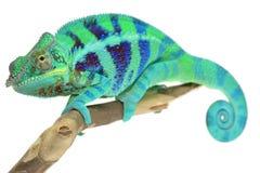 Panther Chameleon Royalty Free Stock Photos