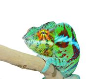 Panther Chameleon Royalty Free Stock Images