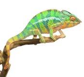 Panther Chameleon Stock Photos