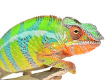 Panther Chameleon Stock Images