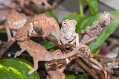 Panther chameleon (Furcifer pardalis) babies Stock Photography