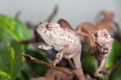 Panther chameleon (Furcifer pardalis) babies Royalty Free Stock Image