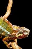 Panther Chameleon (Furcifer pardalis) Royalty Free Stock Images
