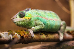 Panther chameleon (Furcifer pardalis) Royalty Free Stock Photography