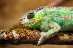 Panther chameleon (Furcifer pardalis) Royalty Free Stock Photos
