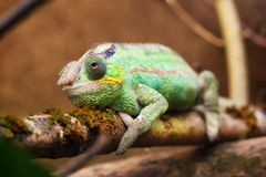 Panther chameleon (Furcifer pardalis) Stock Images