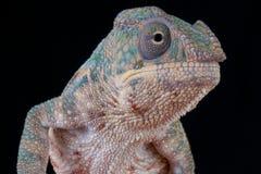 Panther Chameleon / Furcifer pardalis Stock Image