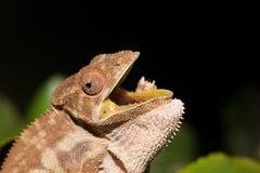 Panther chameleon Furcifer pardalis Royalty Free Stock Image