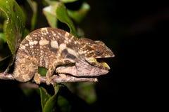 Panther chameleon Furcifer pardalis Royalty Free Stock Images