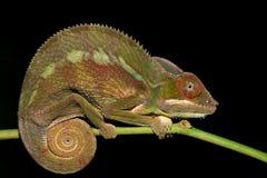 Panther chameleon Furcifer pardalis Stock Photo