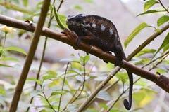 Panther Chameleon (Furcifer pardalis) Stock Photos