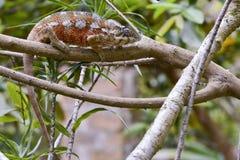 Panther Chameleon (Furcifer pardalis) Stock Image