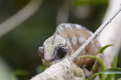 Panther Chameleon (Furcifer pardalis) Stock Images