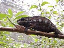 Panther Chameleon (Furcifer pardalis). Rare Madagascar Endemic Reptile Stock Photos
