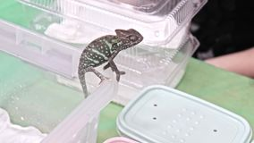 Panther chameleon Furcifer pardalis is sitting on the edge of a plastic terrarium.  stock footage