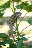 Panther chameleon Furcifer pardalis Royalty Free Stock Photo