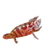The panther chameleon, Furcifer pardalis on white Royalty Free Stock Photos
