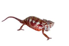 The panther chameleon, Furcifer pardalis on white Stock Photos