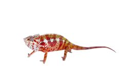 The panther chameleon, Furcifer pardalis on white Stock Image