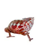 The panther chameleon, Furcifer pardalis on white Stock Images