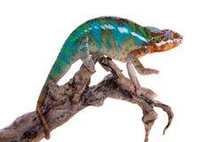 The panther chameleon, Furcifer pardalis on white Stock Photo