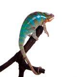 The panther chameleon, Furcifer pardalis on white Stock Image