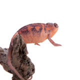 The panther chameleon, Furcifer pardalis on white Royalty Free Stock Images