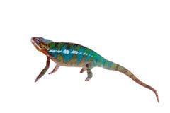 The panther chameleon, Furcifer pardalis on white Stock Photos