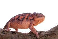 The panther chameleon, Furcifer pardalis on white Royalty Free Stock Photos