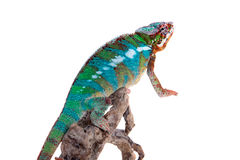 The panther chameleon, Furcifer pardalis on white Royalty Free Stock Photography