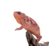 The panther chameleon, Furcifer pardalis on white Royalty Free Stock Photo