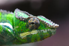 Panther chameleon in green Stock Images