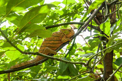 Panther chameleon. Royalty Free Stock Photo