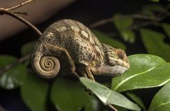 Panther chameleon Stock Photos